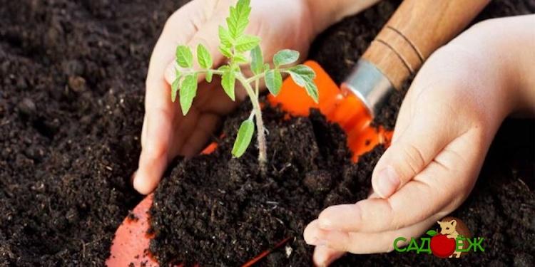 Лучший грунт для рассады томатов: как его приготовить?