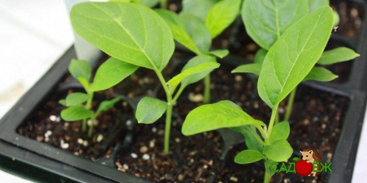 Когда сажать баклажаны на рассаду в 2020 году?