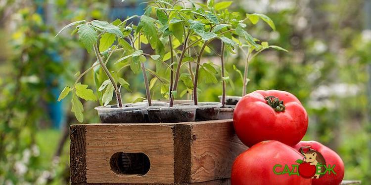 Когда сажать помидоры на рассаду в 2020 году?