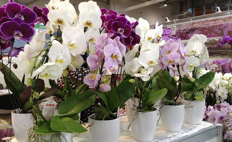 Нужно ли пересаживать орхидею после покупки