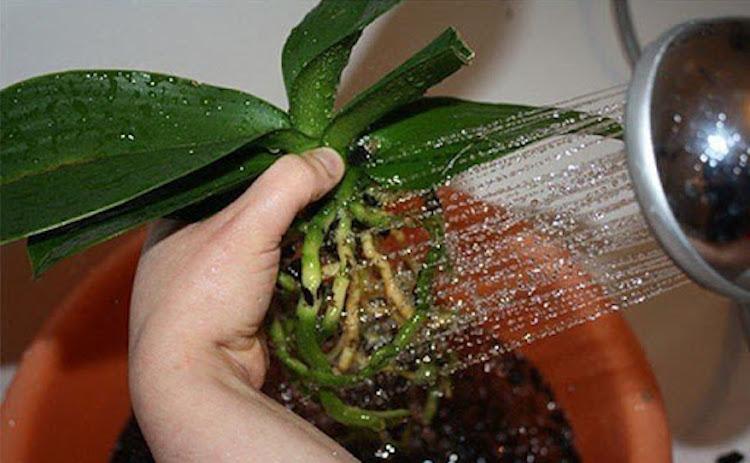 Как пересадить орхидею пошагово?