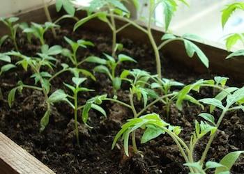 Какие сорта томатов посадить?