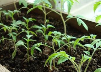 Лучшие сорта томатов: что посадить?