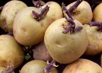 """Закон о запрете посадки """"своего"""" картофеля: что он значит?"""
