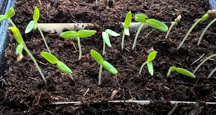 Сроки посева баклажанов на рассаду в 2020 году