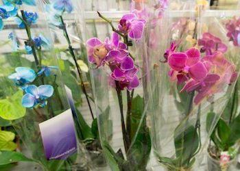 Как правильно выбирать орхидею при покупке в магазине?