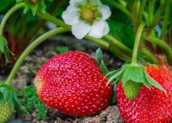 Подкормка клубники дрожжами во время цветения и плодоношения