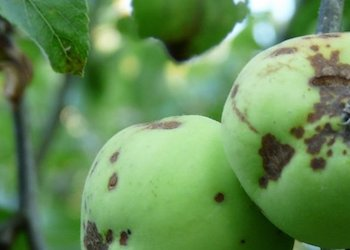 Как избавиться от парши на яблоне весной?