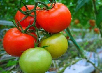 Как ускорить созревание помидоров на кусте народными способами?