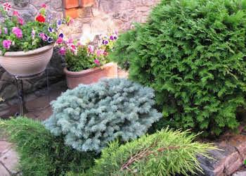 Какие хвойные растения посадить на участке?