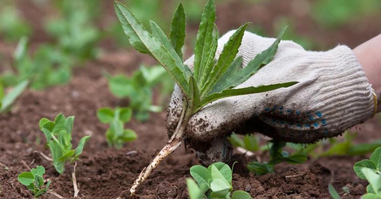 Определение кислотности почвы по сорнякам