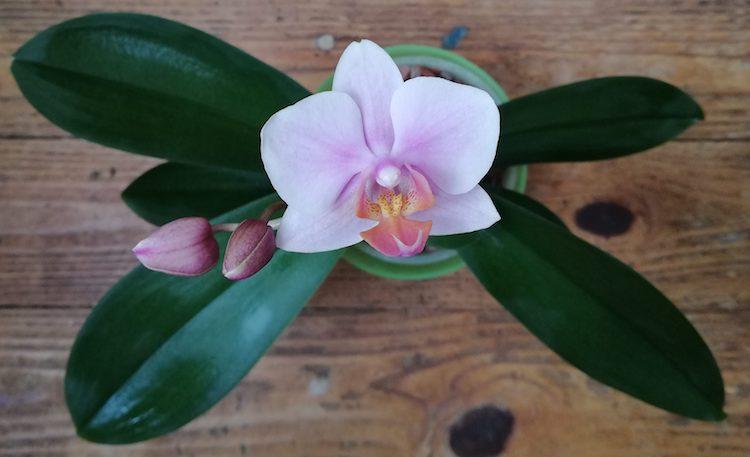Как пересадить цветущую орхидею?