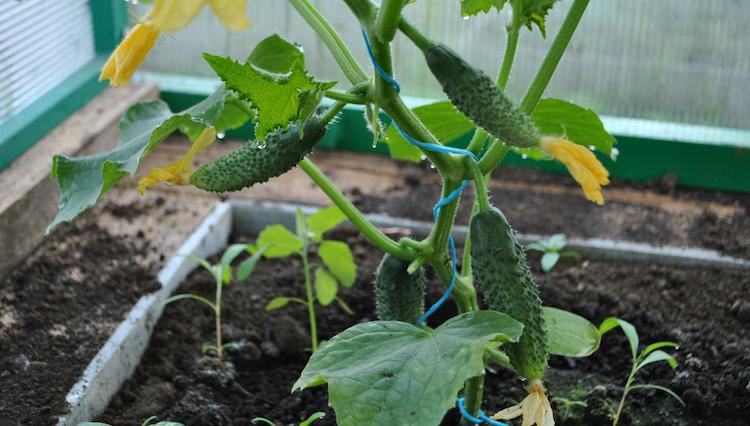 Когда сажать огурцы на рассаду для теплицы?