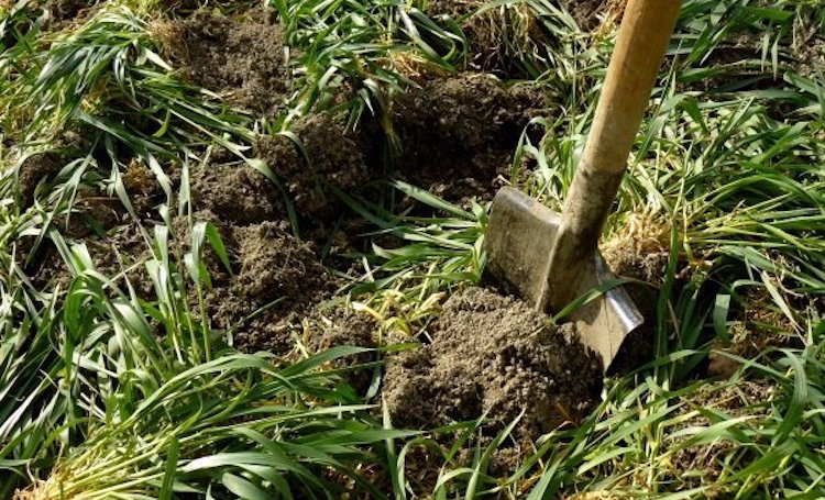 Когда заделывать сидераты в почву?