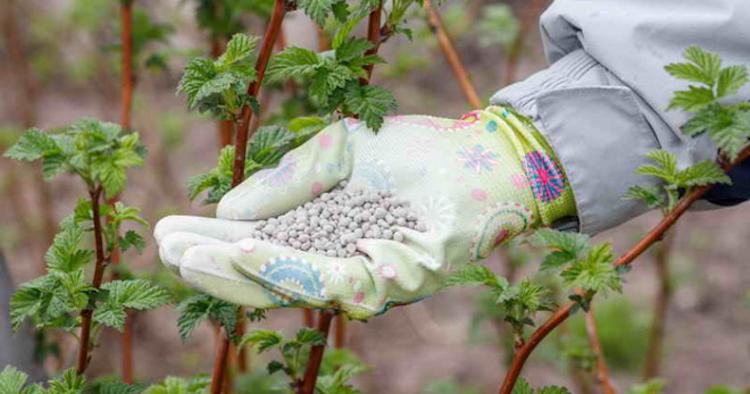 Минеральные удобрения для подкормки малины во время цветения