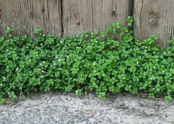 Как избавиться от мокрицы в огороде?