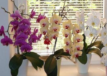 Подкормка орхидеи перекисью водорода