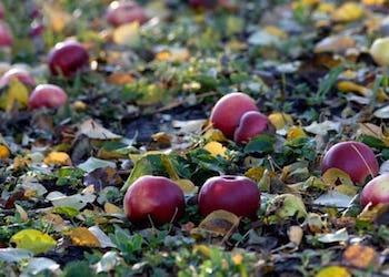 Почему опадают яблоки раньше времени и что делать?