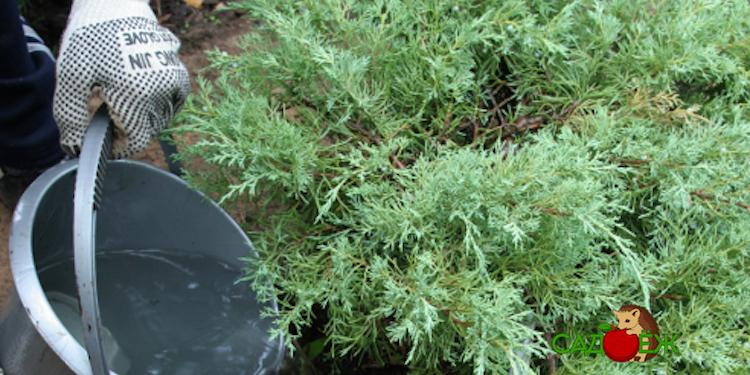 Первый полив хвойных растений ранней весной: когда начинать и как поливать?