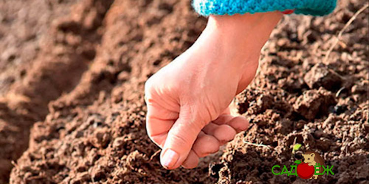 Когда сеять сидераты весной и когда их закапывать?