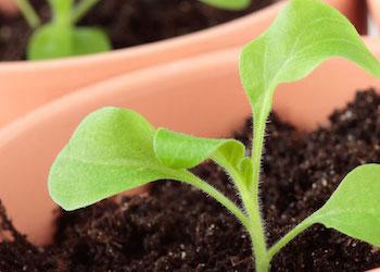 Выращивание рассады петунии: что делать нельзя?