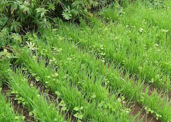 В чем вред сидератов для огорода?