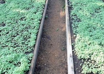 Какие сидераты посеять под огурцы в теплице весной?