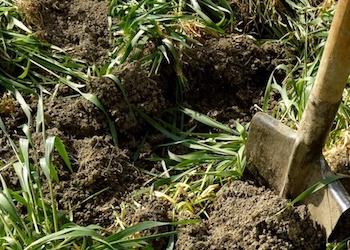Какие сидераты посеять весной под картофель?