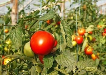 Уход за томатами: что не любят растения?