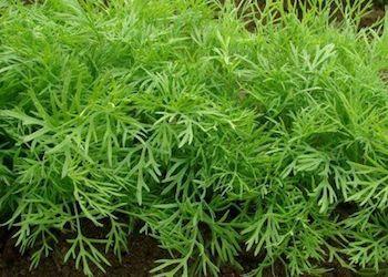 Как вырастить укроп на зелень без зонтиков?