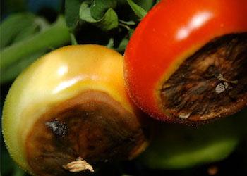 Вершинная гниль томатов: лечение и профилактика