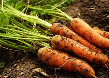Как правильно обрезать ботву у моркови для хранения?