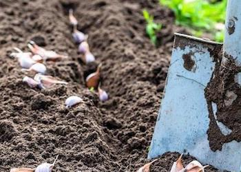 Какие удобрения вносить под посадку чеснока осенью?