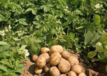 Как правильно подготовить картофельное поле к зиме?