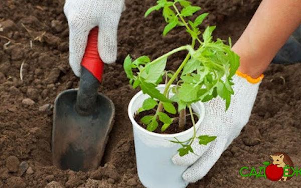 Когда можно высаживать рассаду помидоров в теплицу?