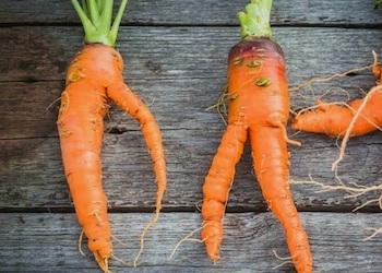 Почему морковь вырастает корявая и рогатая?
