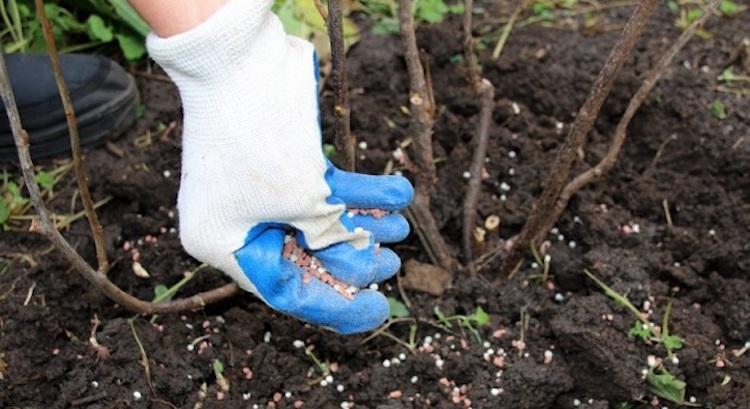 Минеральные удобрения для подкормки смородины весной