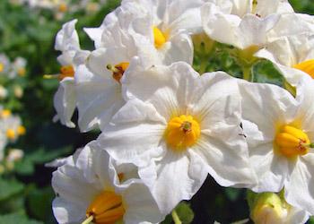Нужно ли обрывать цветы у картофеля?
