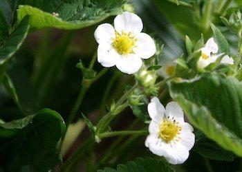 Чем подкормить клубнику весной во время цветения?