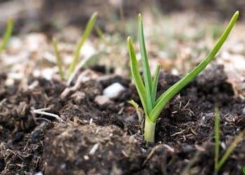 Подкормка озимого чеснока весной после всходов