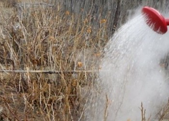 Правильный полив кустов смородины кипятком