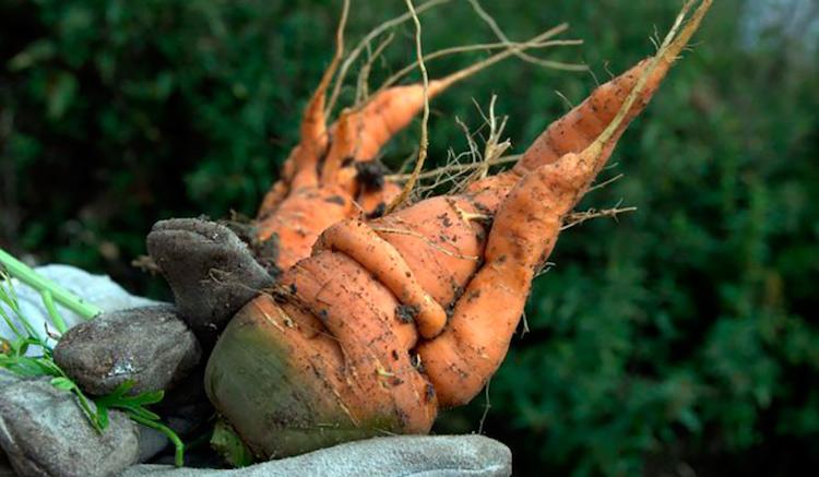 Причины, почему морковь вырастает корявая и мохнатая