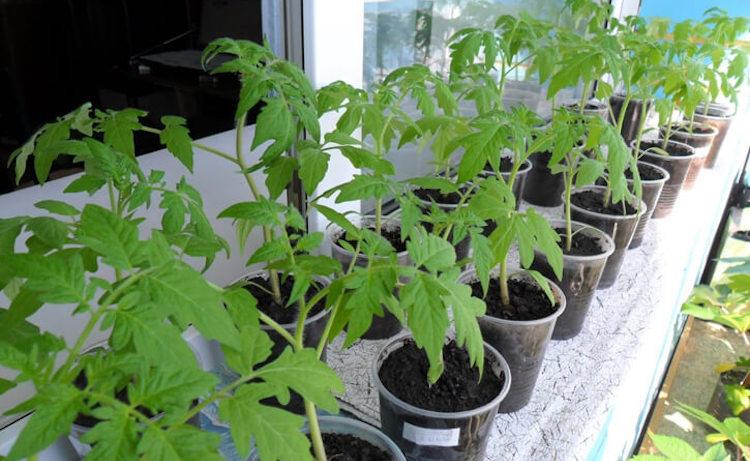В каком возрасте пересаживать рассаду помидоров в теплицу