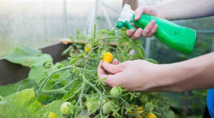 Зеленка для помидоров