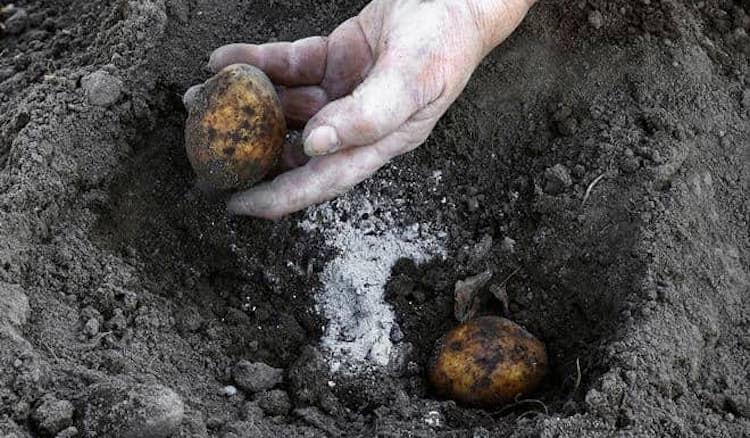 Зола в лунку при посадке картофеля