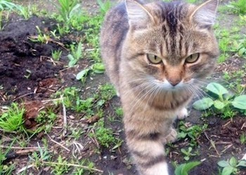 Как отучить кошек бродить по грядкам?