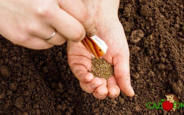 Когда сажать морковь в открытый грунт в мае 2020 года?