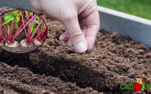 Когда сажать свёклу семенами в открытый грунт в мае и июне 2020 года?