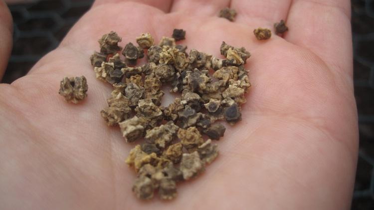 Когда сеять свёклу семенами в открытый грунт?