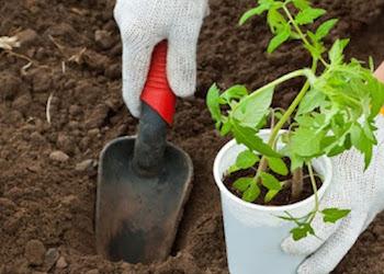 Когда высаживать рассаду томатов в теплицу?